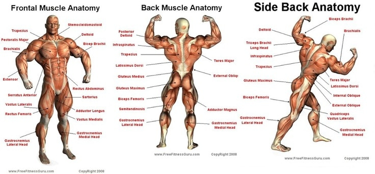 groups of muscles
